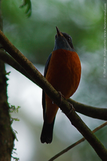 Blue Headed Rock Thrush