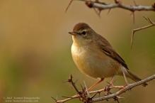 Blyths Reed Warbler