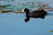 anilkr_common_coot