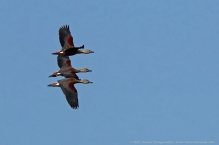 anilkr_lesserwhistlingducks_flight