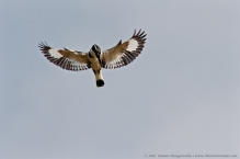 anilkr_piedkingfisher_hovering