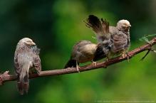 anilkr_yellowbilledbabblers_territorialdisplay