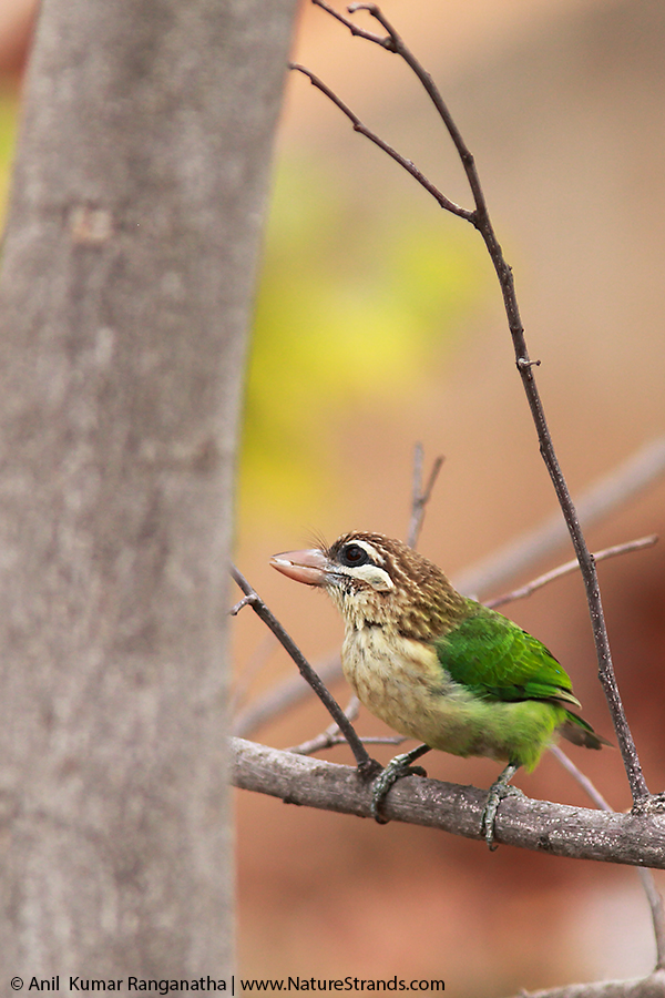ns_coppersmith_barbet